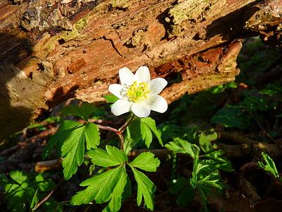 anemone lesa, vetrnica, cvet, bela
