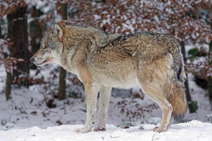 wolf, predator, carnivores, canis lupus, pack animal, attention, social