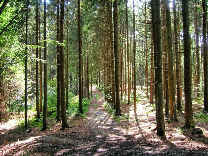 Forest, Glade, atmosphère, forêt bavaroise, bavarois, nature, arbres