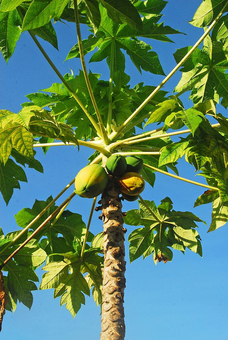 tropical, papaia, fruita, exòtiques, dolç, Orgànica, sucoses