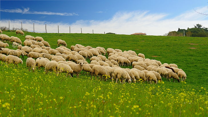 the flock, grass, blue sky, hillside, agriculture, nature, farm
