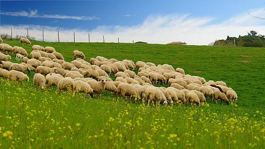 el ramat, herba, cel blau, vessant, l'agricultura, natura, granja