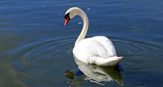swan, water bird, water, river, switzerland, white, animal
