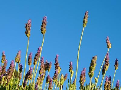 Levanda, floros, levandų gėlės, Gamta, Aromatiniai, gėlės, augalija