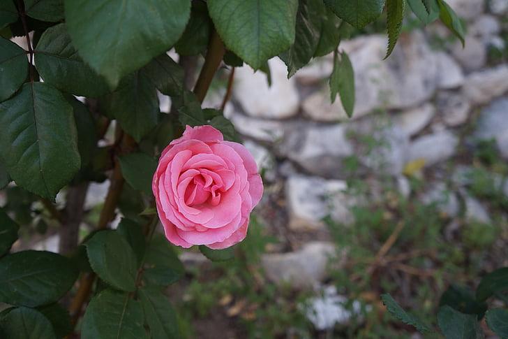 Rosa, flor, Roses, flora, natura, macro, Rosa