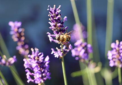 bee, nectar, lavender, blooming lavender, lavender fragrance, purple, honey