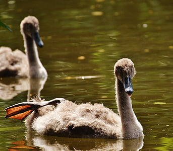 swans, young animals, bird, waters, water, water bird, feather
