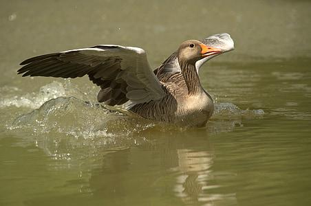 거 위, 물 새, 철새 조류, 야생 거 위, 가금류, 동물, 자연