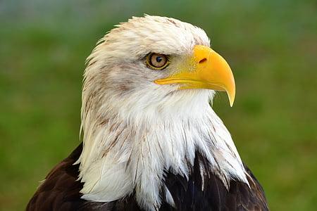 Адлер, Природа, ящер, Билл, Лысые орлы, Портрет, Герб птиц