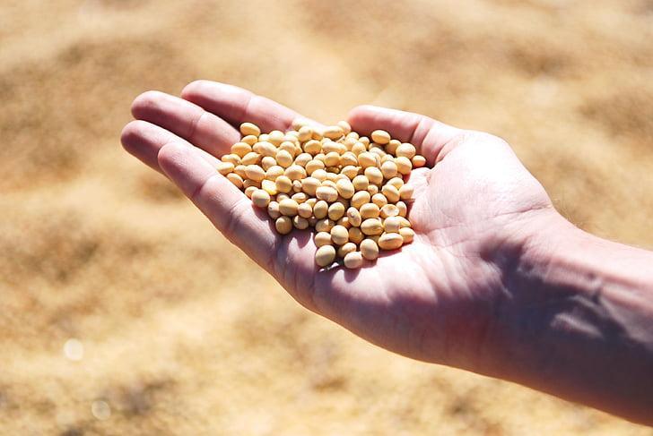 Sojabohne, Hand, Agro, Ernte, Samen, Hülsenfrüchte
