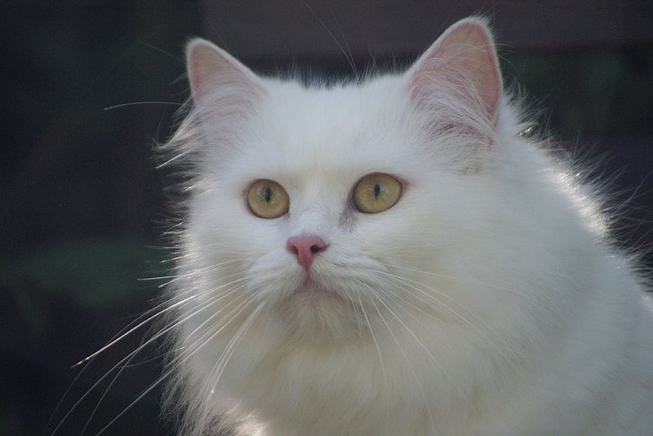cat, white cat, german longhair cat, long-haired cat