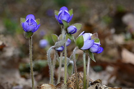 jetrnik, modra, pomlad, blizu, rastlin, modri cvet, alpskega cvetja