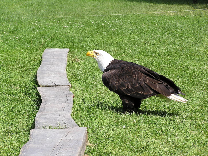 kalju kotkien, Adler, eläinpuisto, Poing, valkoinen pyrstö eagle