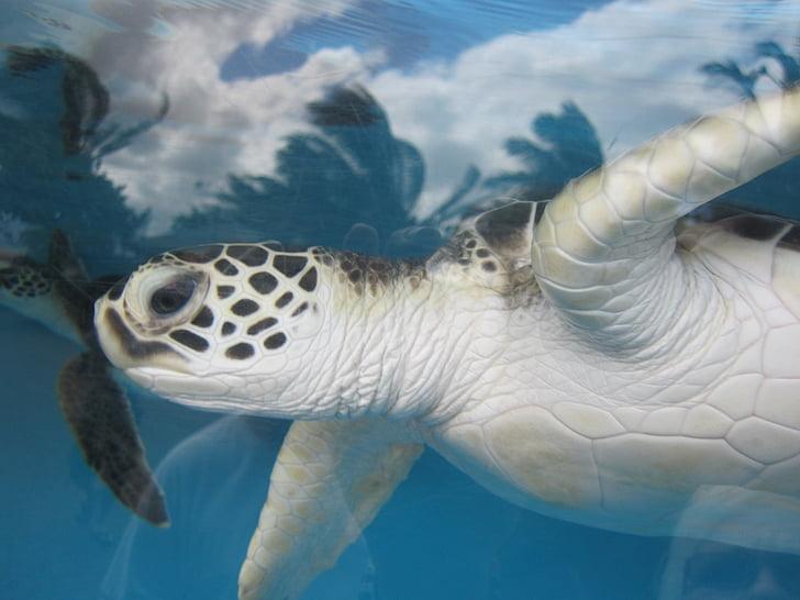 Морська черепаха, Гаваї, акваріум, підводний, Природа, Морський, життя