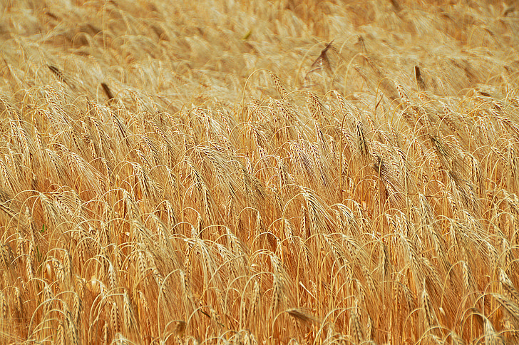 wheat, grain, wheatfield, cereals, wheat ear, sowing, by chaitanya k