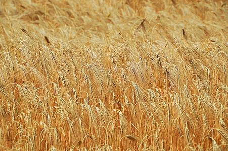 trigo, grão, campo de trigo, cereais, orelha de trigo, sementeira, por k Casali