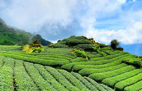 té, colina, cielo, jardín de té, verde, reglas de, paisaje