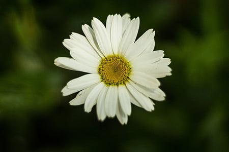 flower, daisy, flowering, plant, spring, summer, petals