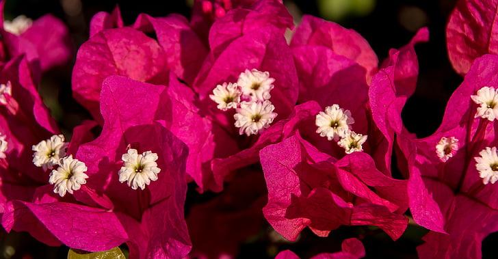Бугенвиль, цветок, Блум, розовый, Белый, Сад, субтропического