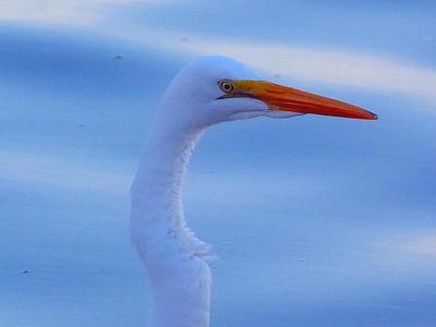 Crane, egret, fuglen, dyr, Wild, fly, Wing