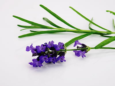 levendula, virág, lila, természet, lila, virágok, levendula virág