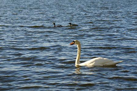 Лебедь, утки, озеро, птица, Природа, животное, воды