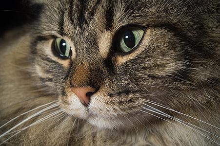 котка, Норвежка горска котка, котешки очи, Сладък, ушите, главата, животните