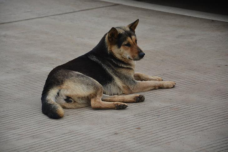 chinese rural dogs, moe, dog, lying dog, blue dog