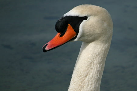 swan, mute swan, bird, water bird, white, lake, swim
