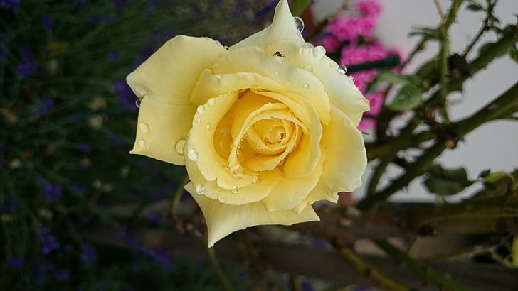 keltainen ruusu, Puutarha, kukka, kesällä, tuoksu, Sulje