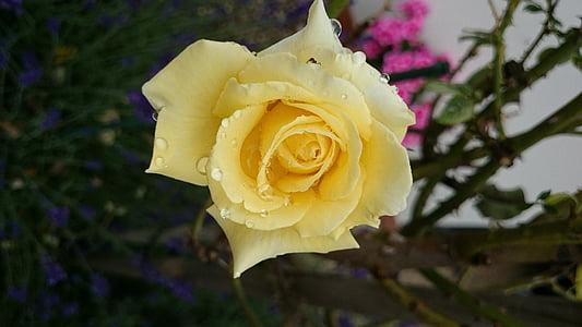 kollane roos, Aed, lill, suvel, aroom, Sulgege