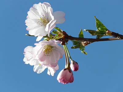 ornamental cherry, bud, flowers, pink, japanese cherry trees, cherry blossom, blossom