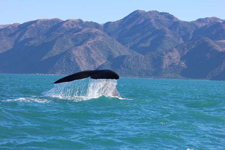 Baleine à bosse, queue de baleine, Kaikoura, Nouvelle-Zélande