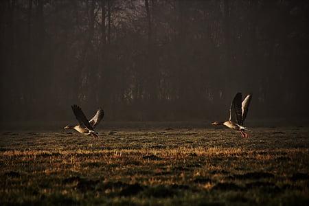 диви гъски, природата, заминаване, прелетни птици, залез