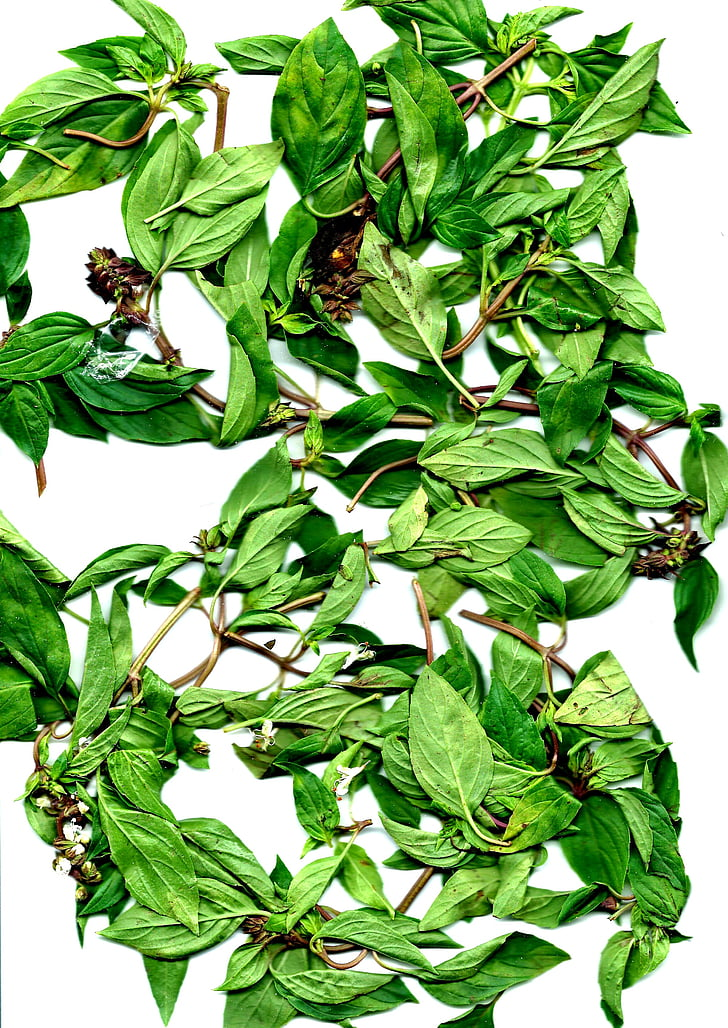 devet premaz toranj, korijander, Kulinarski bilje, biljka, bosiljak, list, biljka