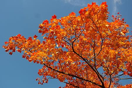 φύλλα σφενδάμου, φύλλα, το φθινόπωρο, χρώμα πτώσης, υποκατάστημα, σφενδάμι, Acer platanoides