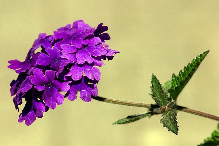 квітка, квітник, макрос, декоративного квітки, фіолетовий, фіолетовий