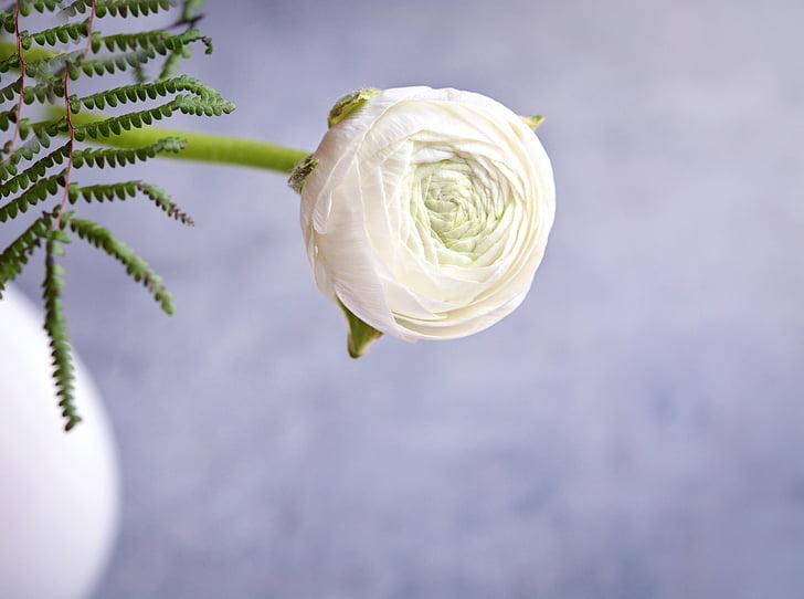 ranunculus, white, white ranunkel, flower, white flower, blossom, bloom