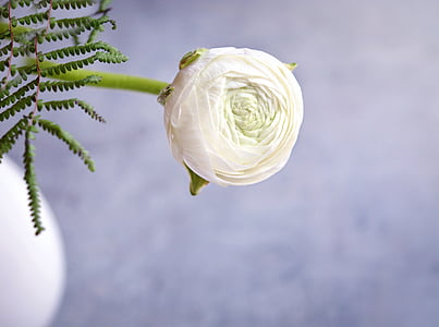 Ranunculus, blanc, ranunkel blanca, flor, flor blanca, flor, flor