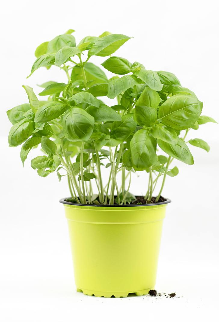 manjericão, arbusto de manjericão, pote de manjericão, ervas, ervas aromáticas, Mediteran, Italiano