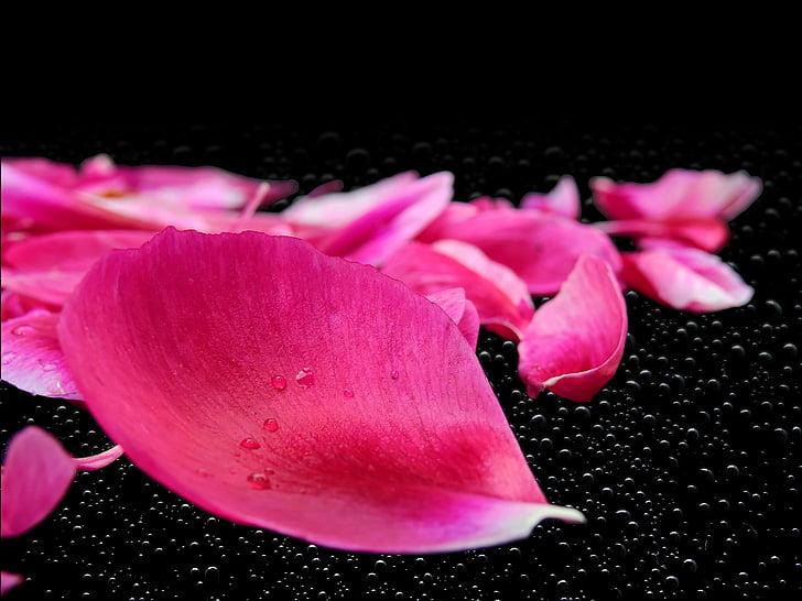 pètals, fulles, flor, planta, Rosa, Rosenblatt, Peònia