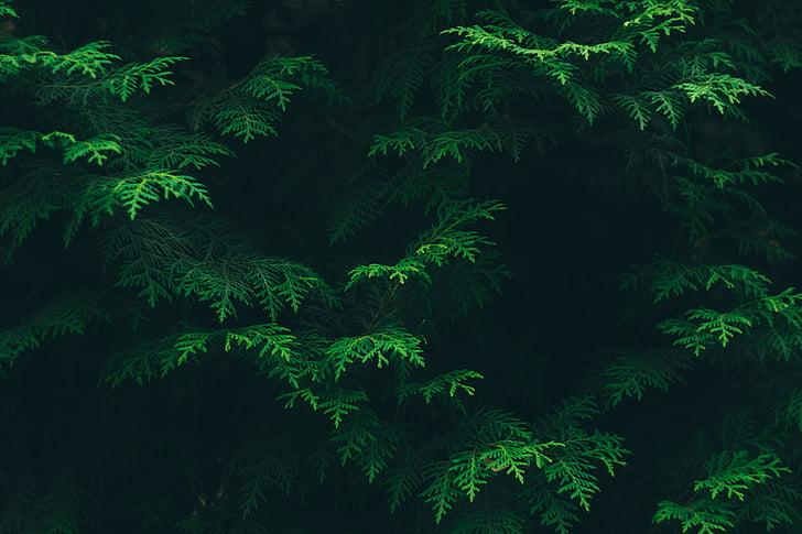 color, coníferes, medi ambient, flora, fullatge, verd, fulles