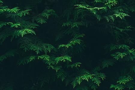Farba, ihličnatý strom, životné prostredie, Flora, zeleň, Zelená, listy