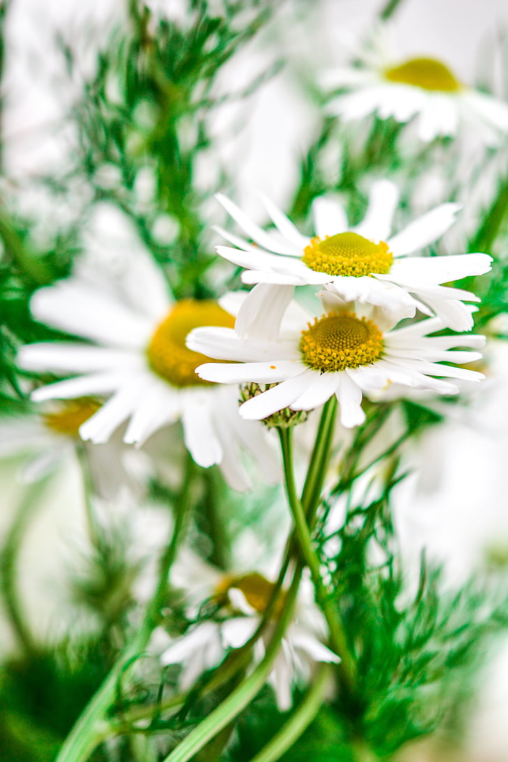 Chamomile, bunga, alam, tanaman, alam, ramuan, hijau