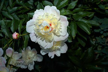 Pfingstrose, Blüte, Bloom, weiß, Frühsommer, Garten, Blume