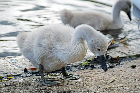 mute swan, mute swan signet, swan, signet, bird, animal, nature