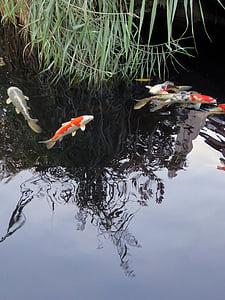 koi, fish, garden pond, ornamental fish, water, koi carp, orange