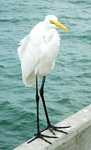 bird, feather, waterfowl, nature, white, natural, wildlife