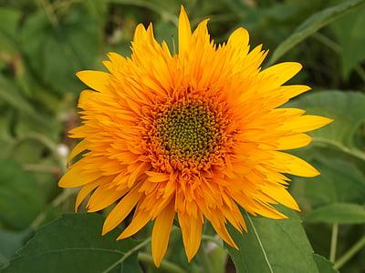 päevalill, kollane, suve lilled, lilled, Aed, suvel, taim