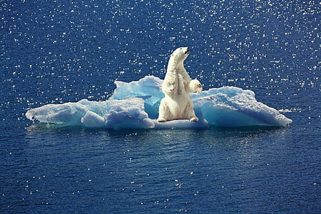 polar bear, iceberg, ice floe, north pole, climate change, animal, bear